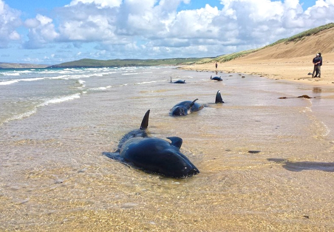 Members of the family of pilot whales stranded off Ballyness beach, Falcarragh, Donegal, last week.