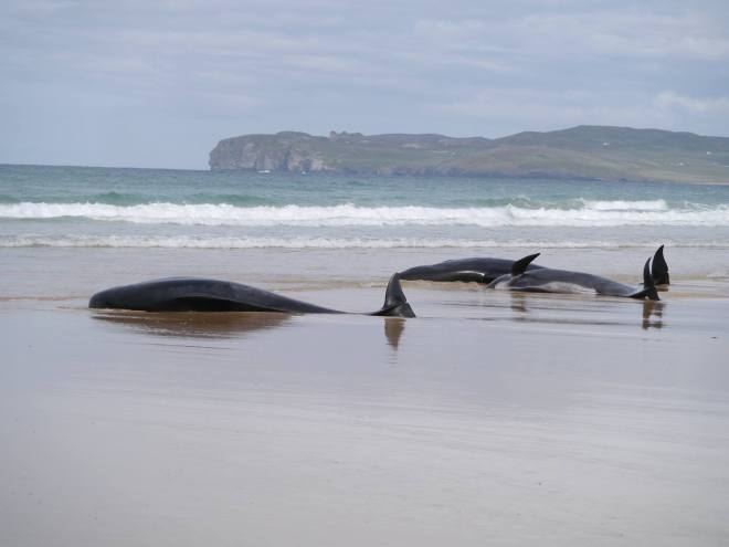 Formal protocols and increased government funding are necessary to save the Irish whale population (Photo courtesy of Selkie Sailing)